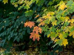 Kreischa, Kurpark, Herbstlaub (joergpeterjunk) Tags: kreischa sachsen outdoor kurpark panasonicdmcfz200 bridgekamera pflanze baum herbstlaub laub ahorn