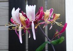Honeysuckle (outdoorPDK) Tags: honeysuckle
