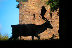Shadow Stag (Nomis.) Tags: canon eos 700d t5i rebel canon700d canoneos700d rebelt5i canonrebelt5i sk201609190758editlr sk201609190758 lightroom cheshire deer shadow silhouette stag buck dunhammassey dunham massey outdoor
