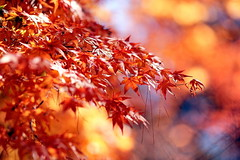 - Love maple leaves - Fushoushan Farm (prince470701) Tags: taiwan fushoushanfarm  sonya850 sony135zaf18 lovemaple