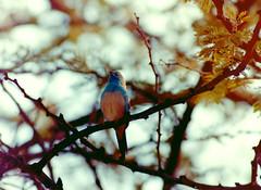 Blauastrild, NGIDn1381901783 (naturgucker.de) Tags: namibia uraeginthusangolensis naturguckerde blauastrild crainermnke okaukuejoetoschanationalpark ngidn1381901783