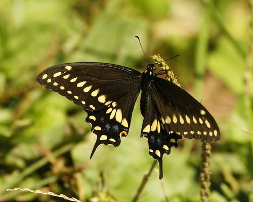 BlackSwallowtailButterflyEmiquonNorthLevee09142010JGWard_MG_4026