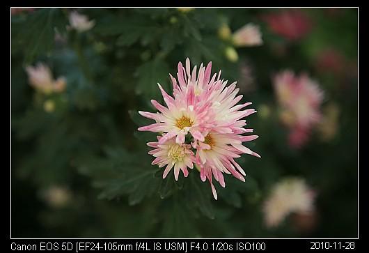 20101128F43嵯峨の琴