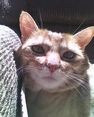 Kitty (Thiagoable) Tags: animal yellow cat feline kitty gato felino