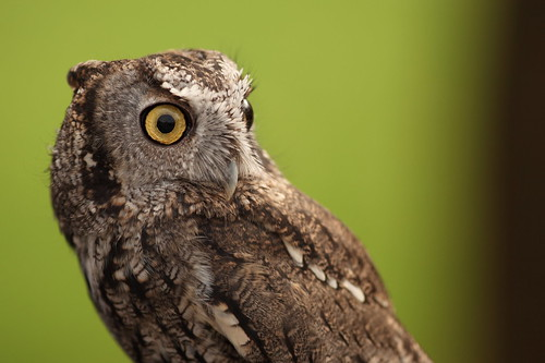 Owl by atubbs, on Flickr
