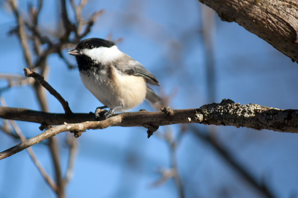 Black-capped-chickadee-6.jpg
