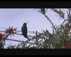 Panterpe insignis (Fiery-throated Hummingbird) (Arthur Chapman) Tags: video costarica insignis savegre fierythroatedhummingbird panterpeinsignis sangerardodedota taxonomy:class=aves taxonomy:kingdom=animalia taxonomy:phylum=chordata taxonomy:family=trochilidae taxonomy:order=apodiformes panterpe geocode:accuracy=1000meters geocode:method=googleearth geo:country=costarica taxonomy:genus=panterpe taxonomy:binomial=panterpeinsignis taxonomy:common=fierythroatedhummingbird taxonomy:order=trochiliformes geo:region=centralamerica