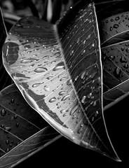"""Natur Gotik"" (YAZMDG (16,000 images)) Tags: bw black wet water rain sepia forest dark studio lowlight rainforest aqua noir gloomy y noiretblanc flor tint nb sombre dew monsoon raindrops ambient lush blackout botanics floods rains yaz obscure obscur melancholic absence subtropics pouringrain shadowy melancholie sloshing lacunae lacune yazminamicheledegaye yazmdg obscuritee ystudio"