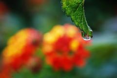 gocce d'autunno #2 (f@brizio72) Tags: verde bokeh giallo foglia rosso rugiada gocce fiorellini nikond40 fabriziocarbone primelucidelmattino