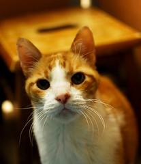 Benjamin (Spenser.Cat) Tags: portrait orange cute male face closeup cat eyes tabby cream s gato spca  katzen gatti katz 2010 sfspca gati d80 mo catnipaddicts
