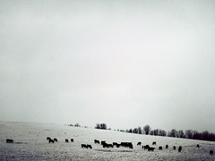 :115: (icolorinthelines) Tags: trees snow ny field cow farm hill victor rochester fairport
