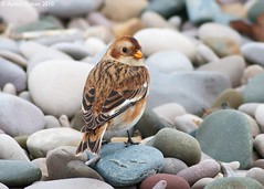 Snow Bunting - Pleasant surprise on a Grim day - Explored! (Ashley Cohen Photography) Tags: winter bird nature britishwildlife snowbunting northwales canon400mmf56l unitedkingdomuk flickrexportdemo canoneos7d