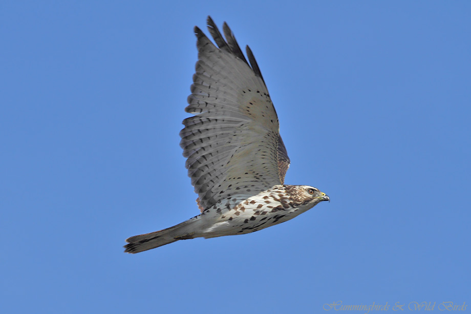 Broad-winged-Hawk-121020