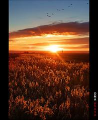 Geese on a sunrise of copper. / Gansos en un amanecer de cobre. (Oscar Martín Antón) Tags: españa sunrise geese spain amanecer copper cobre palencia gansos lagunadelanava