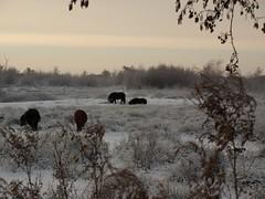 Pony's in de sneeuw