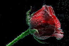 You alone.... (Ravi Pinisetti) Tags: flower macro love rose canon bubbles 100mm ravi 500d rkp t1i pinisetti