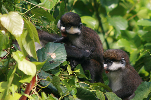 Day 47: Angry baby monkeys