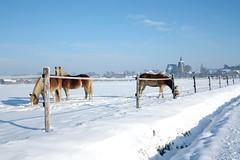 paardjes (photo-copy) Tags: horses snow sneeuw paarden tienen vlaamsbrabant hakendover