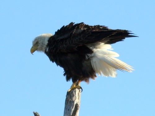 Bald Eagle 3-20101221