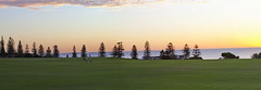 Cottesloe Pines Panorama