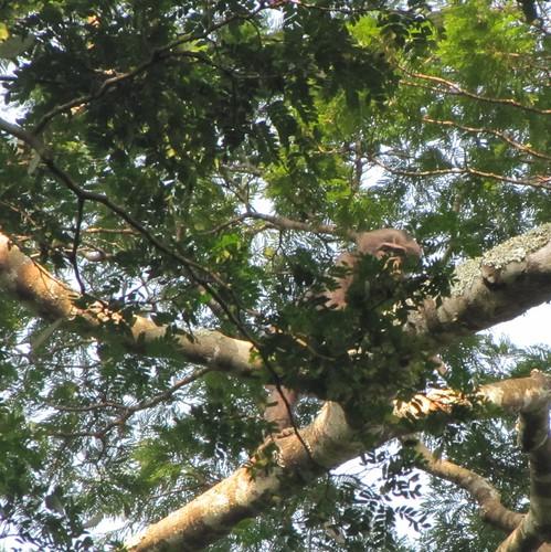 bonobo west of Loidjo