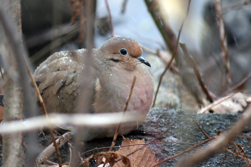 snowy dove by the pond