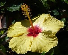 Ibisco (Hibiscus rosa-sinensis) (Luigi Strano) Tags: flowers italy flores fleurs blumen hibiscus sicily fiori catania hibiskus ibisco ibiscus flori