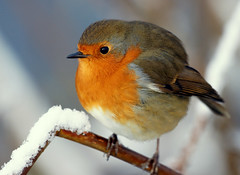 Winter Robin (SteveJM2009) Tags: christmas uk winter light snow cold colour detail cute eye beauty robin closeup ball pose focus december branch dof calendar erithacusrubecula bokeh beak feathers posing frosty explore dorset round perch hungry frontpage xmascard modelling bournemouth plump 2010 christmascard plumage stevemaskell winterbeauty throop rspb catchlight feedthebirds puffedup fluffedup explored