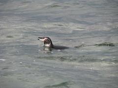 Penguin, Punta Espinosa on Isla Fernandina