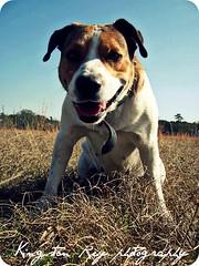 what it dew (Willow Creek Photography) Tags: dog mutt mix friendship canine harley mansbestfriend mongrel loyalty brownandwhitedog pitbullmix houndmix harleyrey pitbullhoundmix