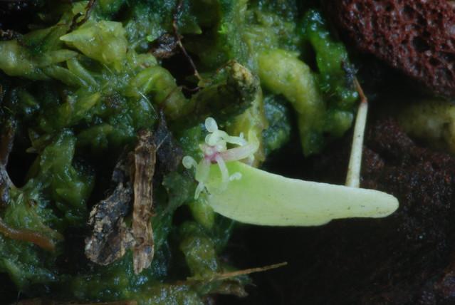 Utricularia geminiloba leaf tip