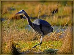 Great Blue Heron (Sveta Imnadze) Tags: qualitygold