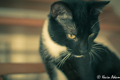 looking down (KevinAdam Photography) Tags: pet cats pets animal animals stairs cat vintage chats nikon chat stair bokeh tuxedo picasso inside animaux escalier intrieur lightroom chaton escaliers intrieur