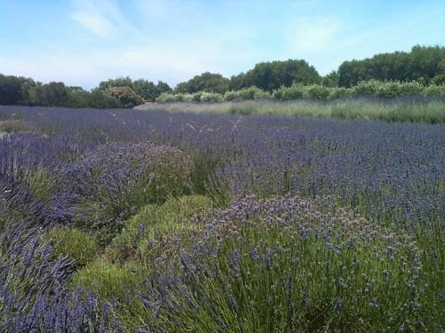 Tower Hill Lavender Farm