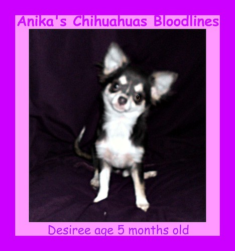anika-chihuahuas longcoat chihuahua, images for chihuahuas,blue chihuahua, images-for-long-coat-chihuahuas