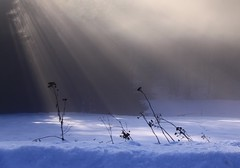 Beam us up, please! (:Linda:) Tags: mist snow flower tree germany village thuringia faded withered sonne sunbeam sonnenstrahlen sunray verblht verwelkt brden