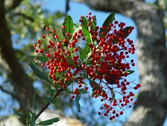 Toyon (The Reserve/ Richard & Donna O'Neill Conservancy) Tags: conservancy toyon