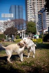 Happy dogs in Tokyo- Tiger and Hoppy (Vladimir Zakharov  ) Tags: dog tokyo labrador tiger aoyama yellowlabrador aoyamaichome gettyimagesjapanq1