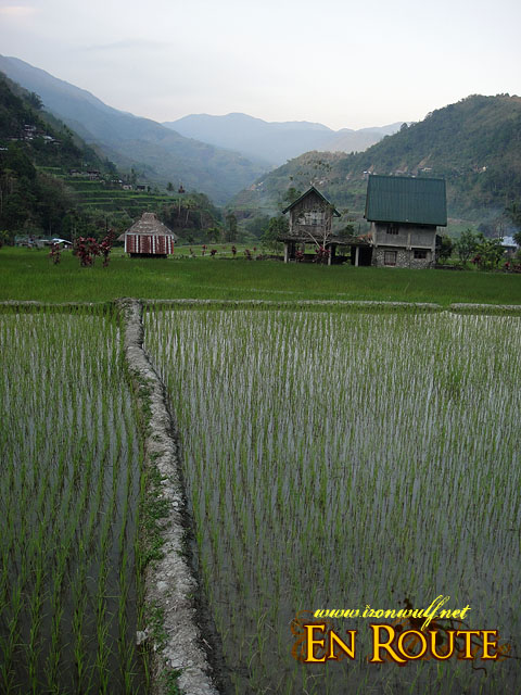 Rice field and houses
