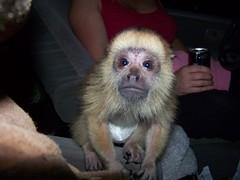 Farrah baby howler monkey