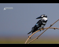 Pied Kingfisher (Pictolicious) Tags: india bird kingfisher pied mangalajodi