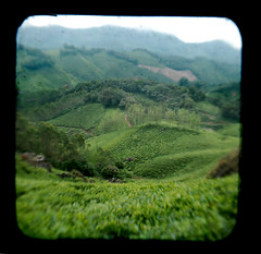 DSC_4217 (kccornell) Tags: india plant nature tea kerala plantation zone munnar ttv
