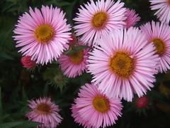 SYMPHYOTRICHUM novae-angliae 'Pink Parfait'