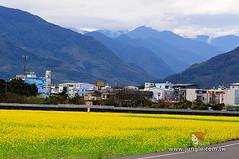 20110118_0378_花東縱谷_油菜花季