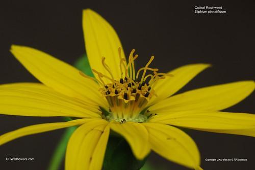 Cutleaf Rosinweed, Cutleaf Prairie Dock, Tansy Rosinweed - Silphium pinnatifidum