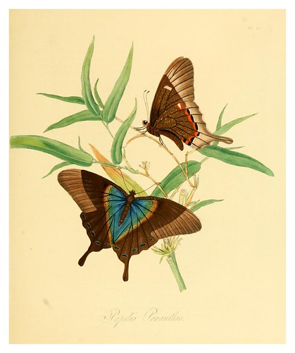 005-Papilio Peranthus-Natural history of the insects of China…1842- Edward Donovan