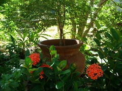 "Tropical Ixora in front of rustic clay pot in ""woodland glade"" (pawightm (Patricia)) Tags: austin garden texas texashillcountry shadegarden centraltexas tropicalevergreen bloomingshrub woodlandglade broadleafevergreen pawightm rusticclaypot tropicalixora brightorangeblooms fss859925"