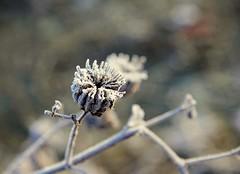 fiori di ghiaccio (mat56.) Tags: flowers winter ice bokeh campagna fiori inverno ghiaccio lodi lodigiano mat56 0riolittalombardiapianurapadana