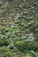 Koromiko photos - Te Kopahou Reserve - Wellington New Zealand (Steve Attwood) Tags: newzealand canon wellington hebe koromiko hebestricta