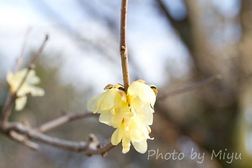 Ume with yellow